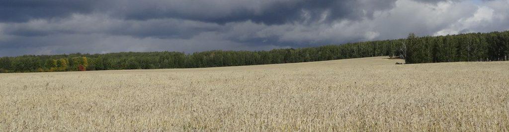 выращивание пшеницы и других зерновых