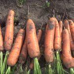 Бизнес план по выращиванию моркови